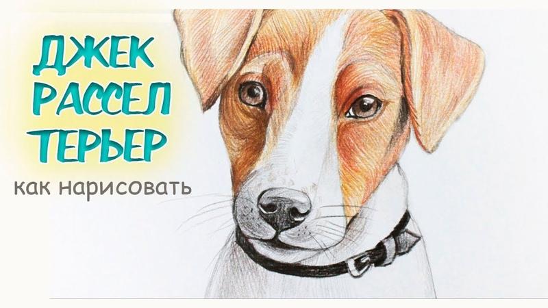 Как нарисовать ДЖЕКА РАССЕЛА ТЕРЬЕРА собачку | How to Draw a Dog Jack Russell Terrier