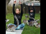 В британском отеле появились занятия йогой с лемурами