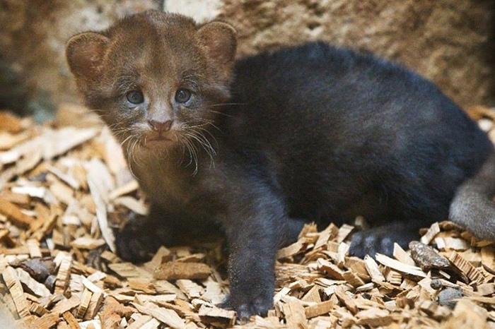 Дикая кошка ягуарунди