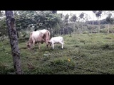Vaca con ternero, Costa Rica