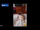 Шотландец научил своего мопса зиговать.mp4