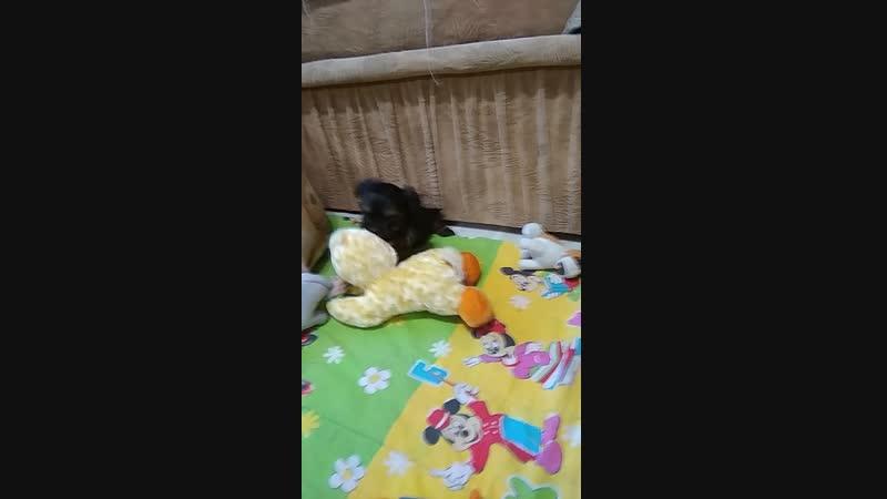 Шикарные щенки Йоркширского терьера рождены 18 10 18 выставляются в продажу 0713680161 и 0506273149 и он вайбер