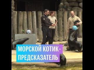 Морской котик-предсказатель