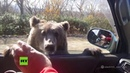 'Sobornan' a un oso con galletas desde un coche para que les 'permita' pasar