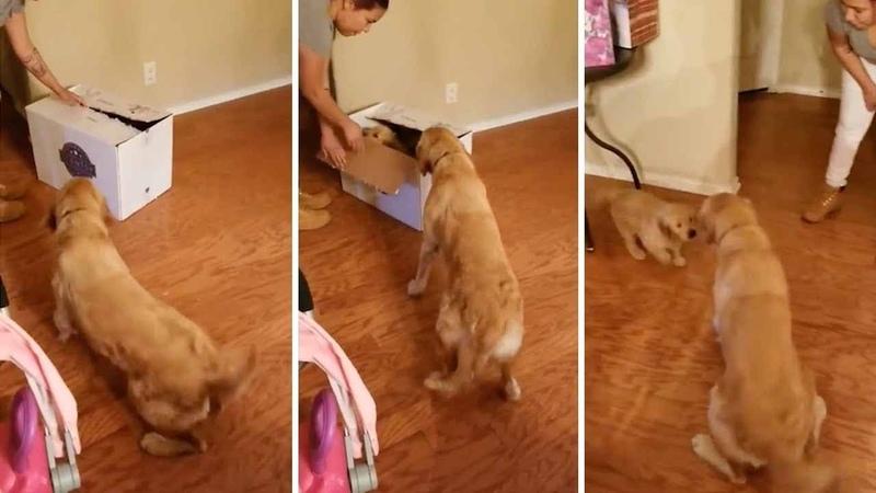 Anxious Golden Retriever Unwraps Puppy for Christmas
