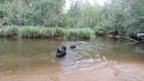 DSCN9013 Гут и Дива купаются в речке Вьюн, 31.08.2018