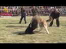 Тибетский мастиф vs волкодав
