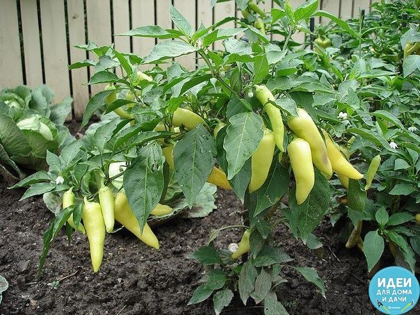 Как увеличить урожай перцев Первый вопрос, который возникает при выращивании любой рассады когда сеять семена Расчет здесь прост. Например, я высаживаю рассаду в грунт под укрытие в конце мая,