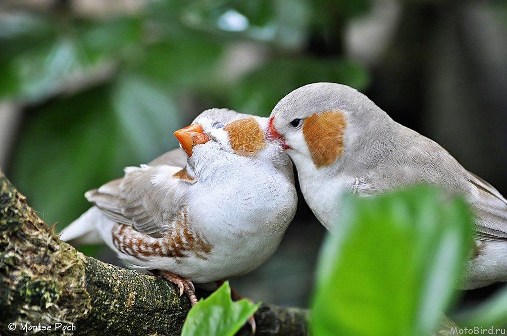 картинки птички амадин значок переключения