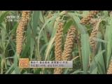 Просо (пшено) ''ГуЦзы'' (зерно долин), либо ''ШуЦзы'' (просяное зерно). Технология возделывания ценных злаков.