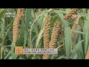 Просо пшено ГуЦзы зерно долин либо ШуЦзы просяное зерно Технология возделывания ценных злаков