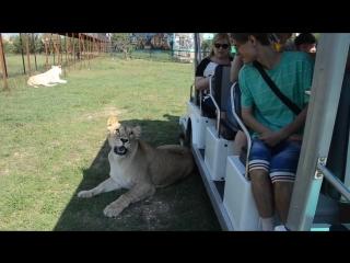 Львица Лейла и туристы ! Тайган