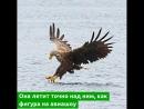 Храбрая ворона нападает на огромного орлана-белохвоста