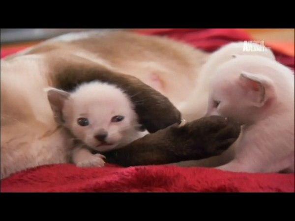 Радужные котята TOO CUTE Мейн куны Сиамские черные кошки