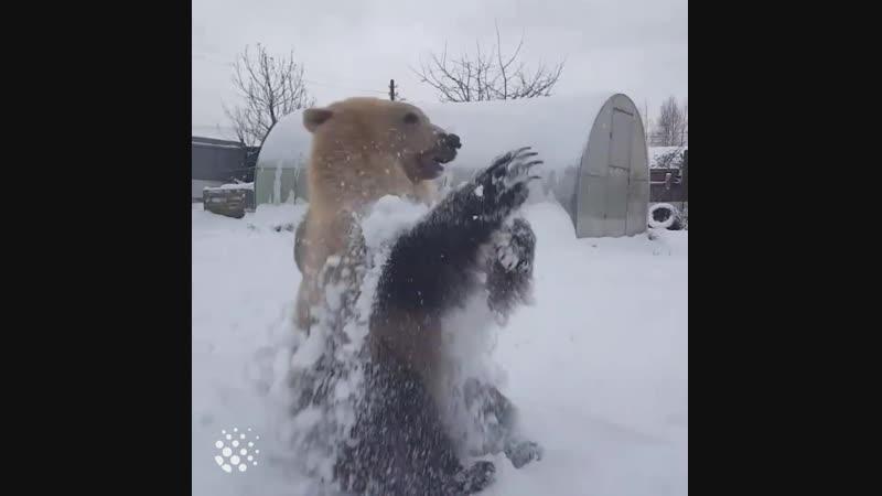Мишка очень любит снег vbirf jxtym k.,bn cytu