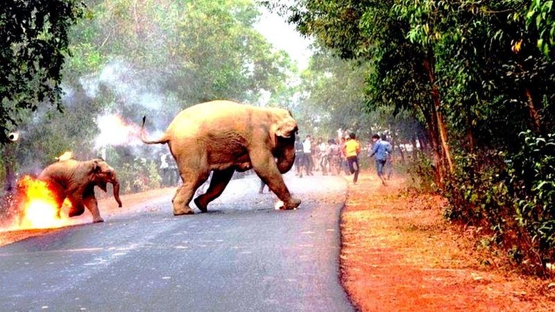 Толпа в Индии забросала слониху с детенышем зажигательными снарядами