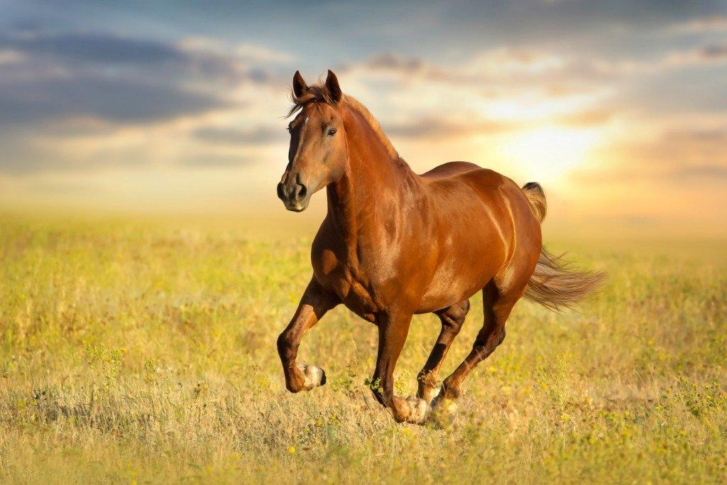 Основы анатомии и физиологии лошадей, их размещение, содержание, основные правила ухода и эксплуатации