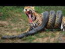 LIVE Most Amazing Moments Of Wild Animal Fights Animal Planet Documentary 2018
