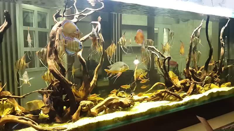 Altum angelfish 18 5
