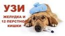 Ультразвуковое исследование желудка и двенадцатиперстной кишки собаки