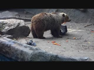 In the Budapest zoo a bear rescued a drowning crow