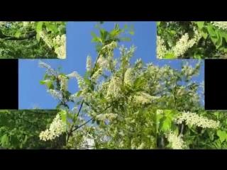 Черёмухи белый цвет