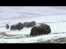 Дикая природа России Арктика 2008