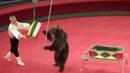 Медведи. Цирк. Медведь в цирке крутит бочонок. Bears. Circus. Circus bear twirl a keg.