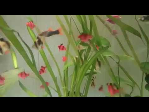 Барбус Суматранский Glofish Красный