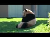 Мама панда играет со своим ребенком_360p.mp4