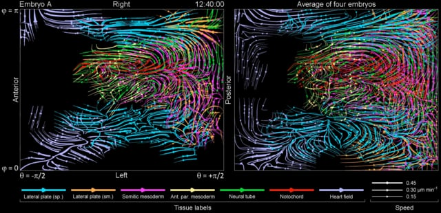 Movie S27 | Comparison of tissue morphodynamics map in a single embryo vs. average map of four embryos