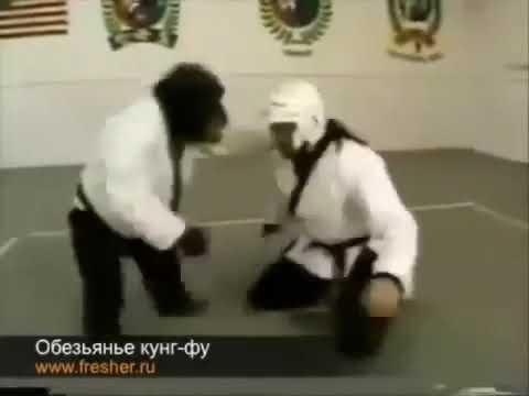 Обезьяна с чёрным поясом показывает мастерство владения каратэ