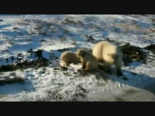 На Новой Земле объявлен режим чрезвычайной ситуации из-за белых медведей
