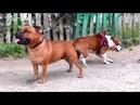 Английские стаффордширские бультерьеры Буч и Пеппи English Staffordshire Bull Terriers