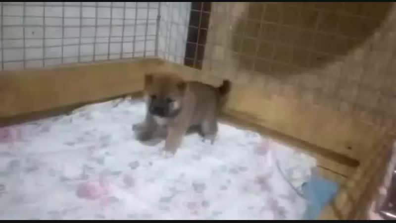 Свободны к продаже щенки Сиба мальчик и девочка, www.shiba-pedigree.rutestmating.phpsire=70012dam=71835