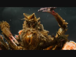 Decorator crabs make high fashion at low tide (deep look)
