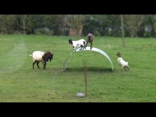 Козы играют в Царь горы - vk.com/p.obrazovanie