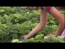 29 08 18 Семья предпринимателей из Сарапульского района вырастила поле клубники