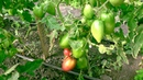 🍅Эти сорта я буду садить каждый год.🍅🍅🍅 Наш урожай томатов на 26 08 2018 😀