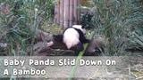 Baby Panda Slid Down On A Bamboo iPanda
