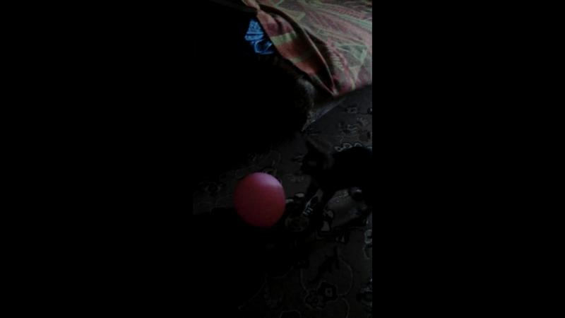 Вася, охотиться на шарик!😂