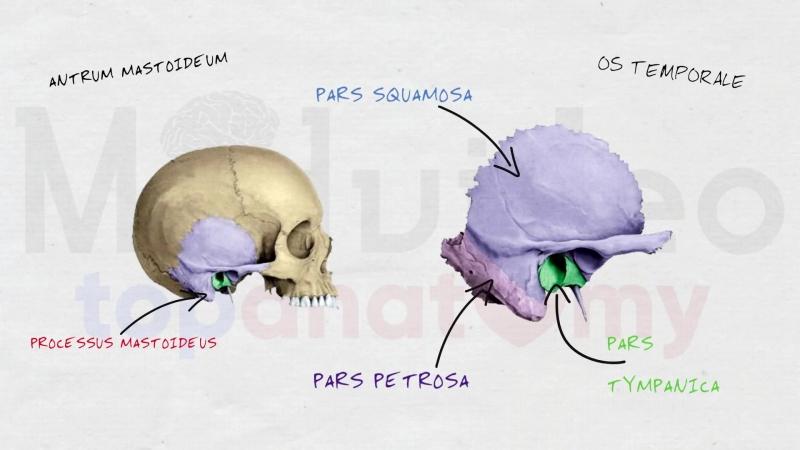 5. Череп 3. Височная кость; каналы височной кости.