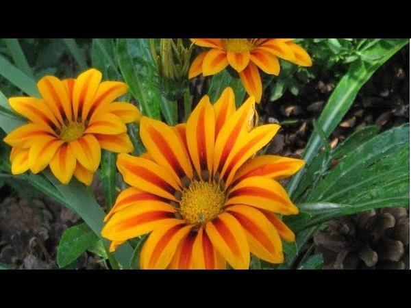 Хризантемы, газании украшение любых цветников и садов! Опять купила цветы для сада..