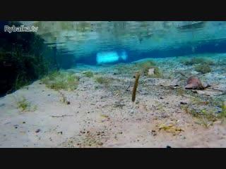 Съедобная резина Reins G-Tail Saturn Micro. Подводная съемка. Underwater