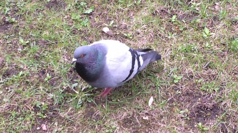 Жырные голуби Адмиралтейства 2