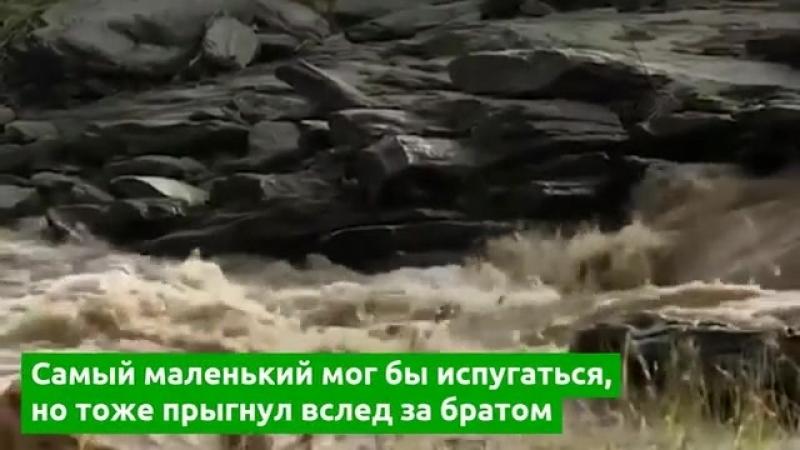 Львенок упал в реку, прыгнув за братом