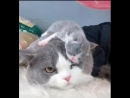 Tiny newborn kitty crawling on Mom s head - These two are so deliciously sweet
