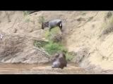 Бегемот спасает антилопу гну от крокодилов. дикий мир и поведение животных в нем.