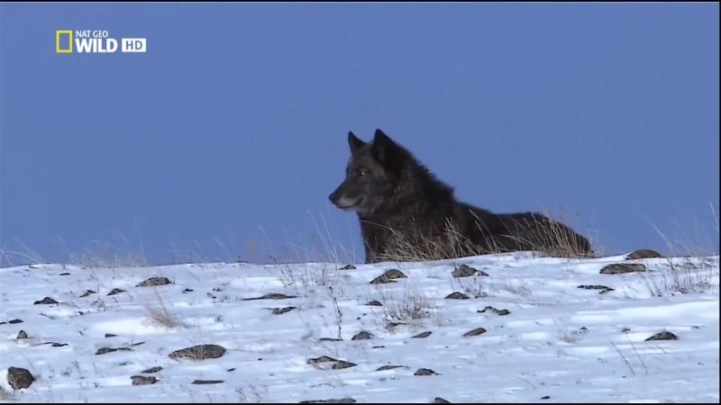 Д/Ф Восхождение чёрного волка (2010г)