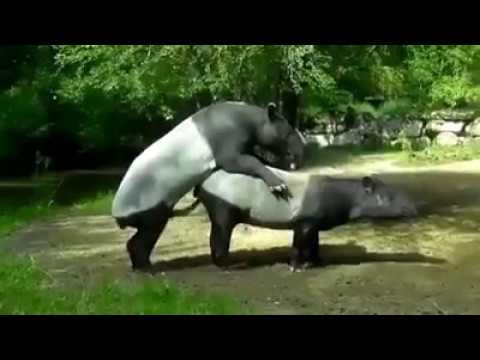 Tapir apareandose